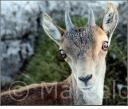 Mirada - Cabra salvatge (Capra hispanica) - Parque Natural dels Port - Mont Caro (1447 metros) - Tarragona