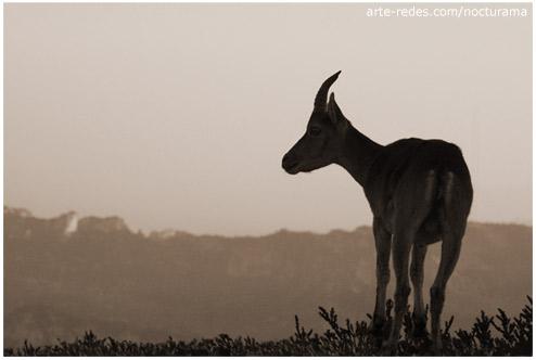 Cabra salvatge (Capra hispanica) - Parque Natural dels Port - Mont Caro (1447 metros) - Tarragona