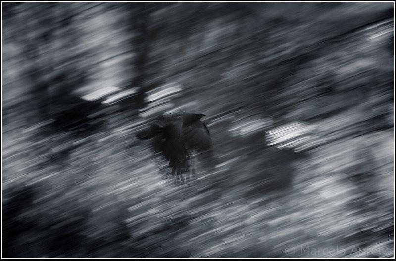 El cuervo - The raven - Passau, Alemania