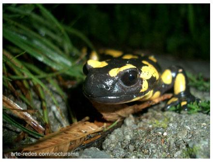 Salamandra en Queralbs