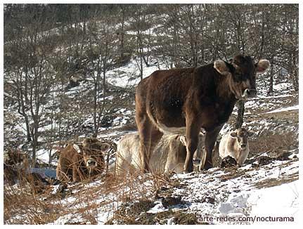 vacas en La Ruira, Queralbs